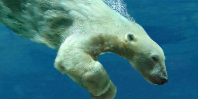 How Fast Can a Polar Bear Swim?