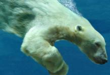 how fast can a polar bear swim