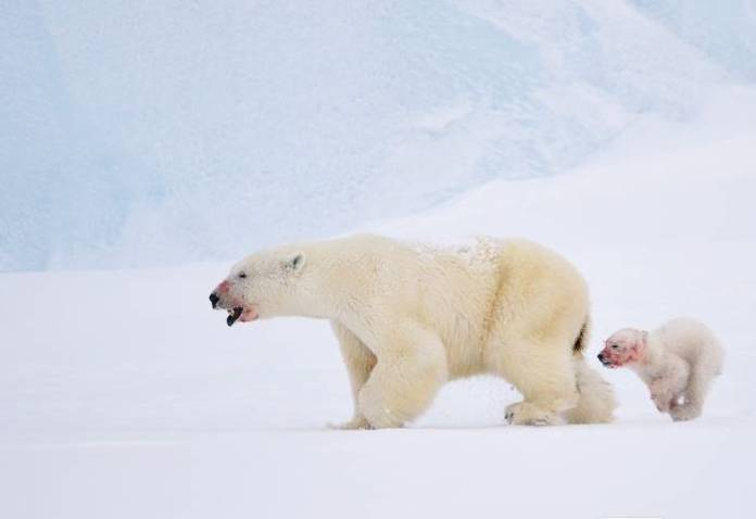 how do polar bears hunt seals