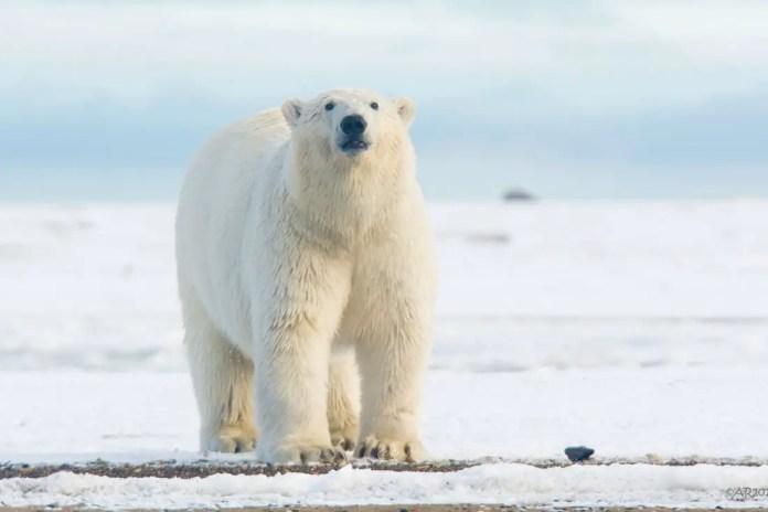How Long Do Polar Bears Live?   Polar Bear Lifespan