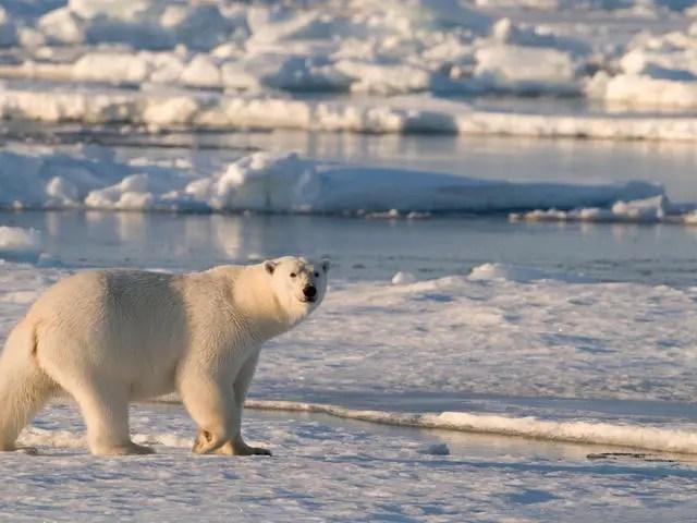 polar bear physical characteristics