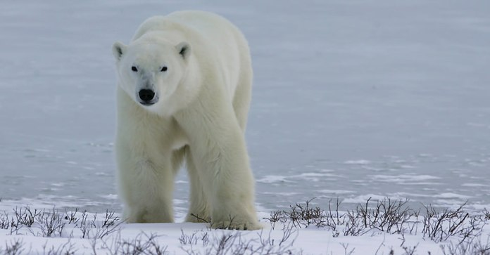 polar bear is the largest carnivorous land mammal