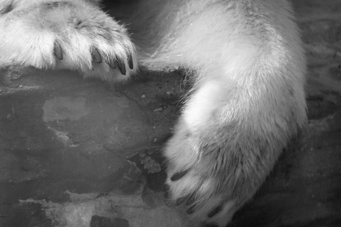 polar bear claws