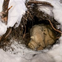 Polar Bear Den - How Does a Polar Bear Make its Den?