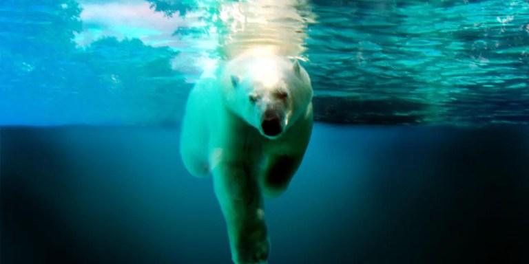 How Do Polar Bears Swim?