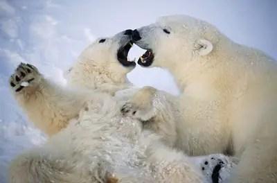 Polar Bear Behavior – Polar Bear Behavior Characteristics