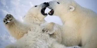 polar bear behavior