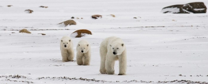 how much does a polar bear weigh?