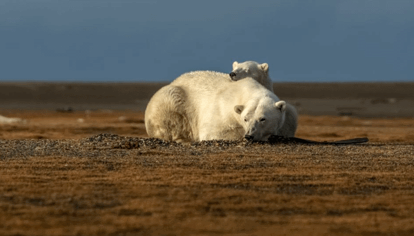 how can we save polar bears