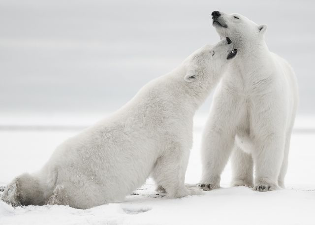 interesting facts about polar bears for kids