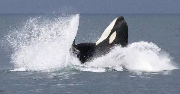 Do Polar Bears Eat Orcas?
