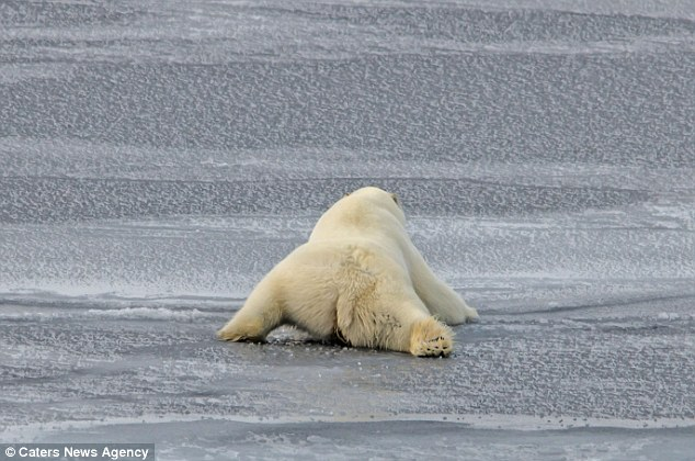 how heavy is a polar bear