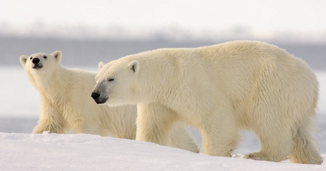 How Many Layers of Fur Do Polar Bears have?