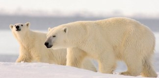 how many layers of furs do polar bears have?