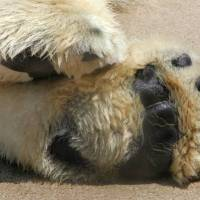 How Big is a Polar Bear Paw? - Polar Bear Paw