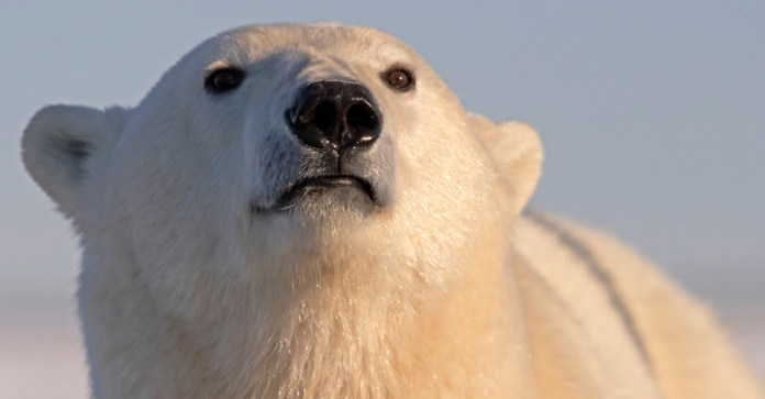 do polar bears have whiskers?