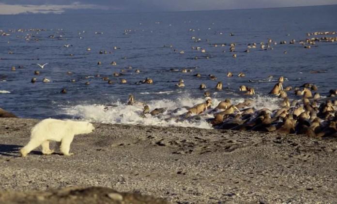 Do Polar Bears Eat Walruses? – Polar Bear-Walrus Relationship