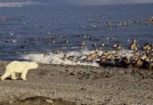do polar bears eat walruses?