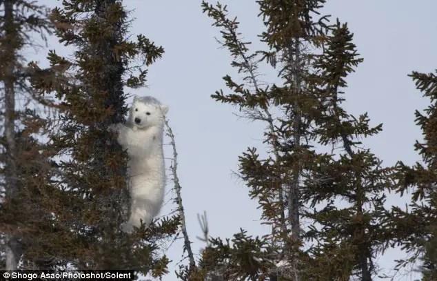 can polar bears climb