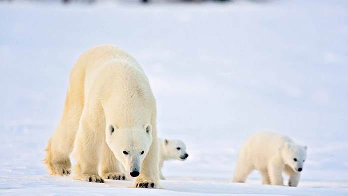 polar bear cubs facts