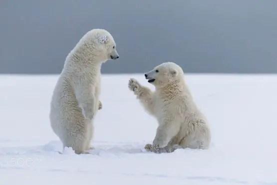 Polar Bear Cubs Facts – Interesting Facts about Baby Polar Bears