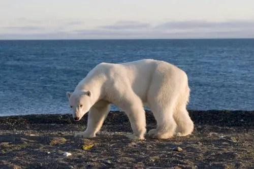 What Do Polar Bears Look Like? – Polar Bear Description