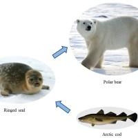 Polar Bear Liver – Polar Bear Liver Vitamin A Toxicity