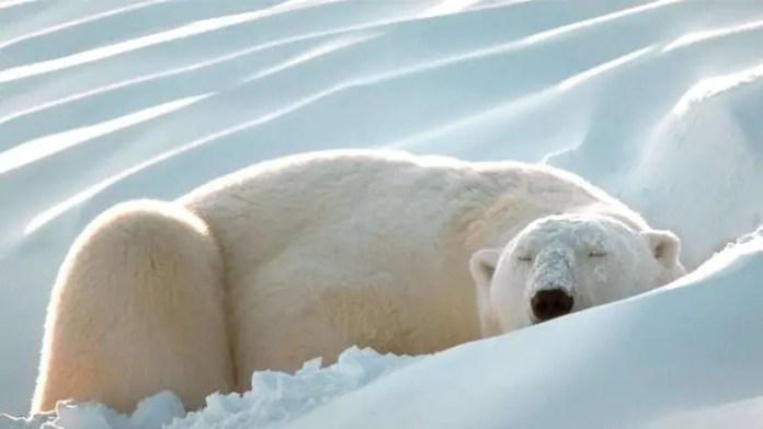 How Long Do Polar Bears Sleep? – Polar Bear Sleeping Habits