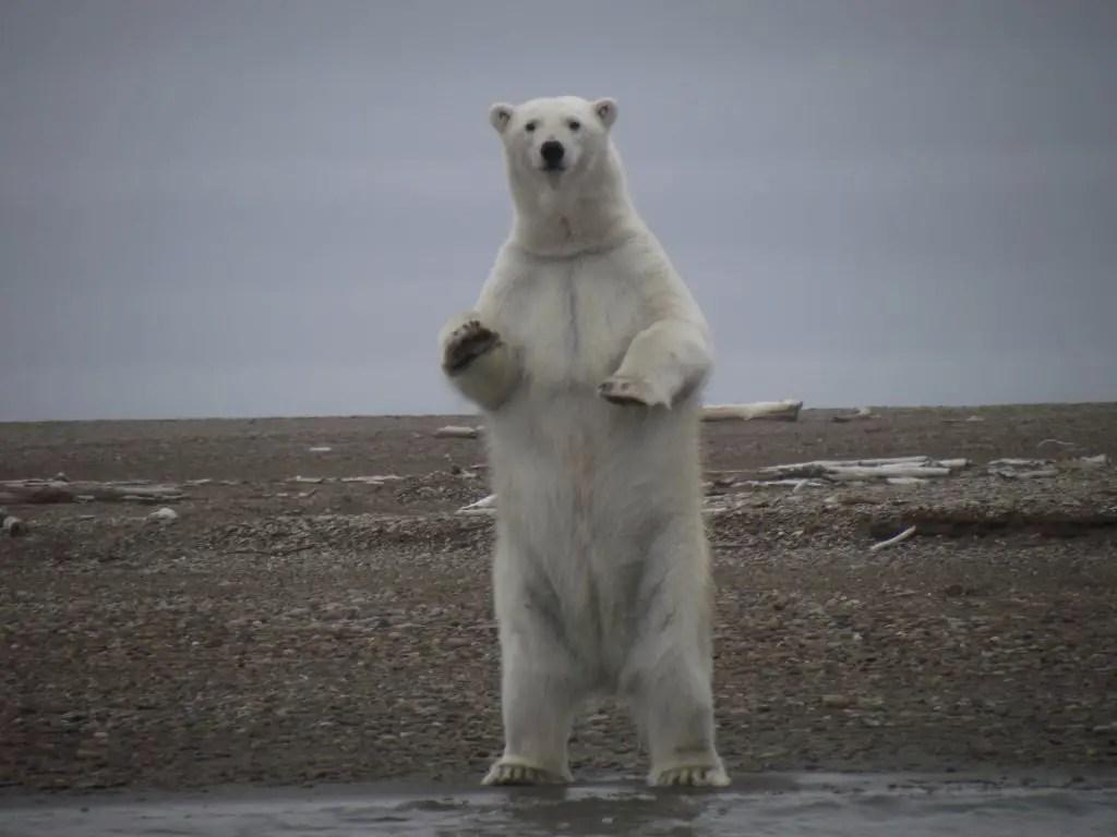 is a polar bear bigger than a grizzly bear