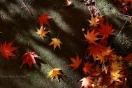 maple leaves-1