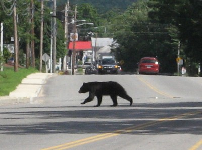 Yes, this is a young bear crossing rt. 16 in North Conway, NH. Apparently he was headed towards the hospital.