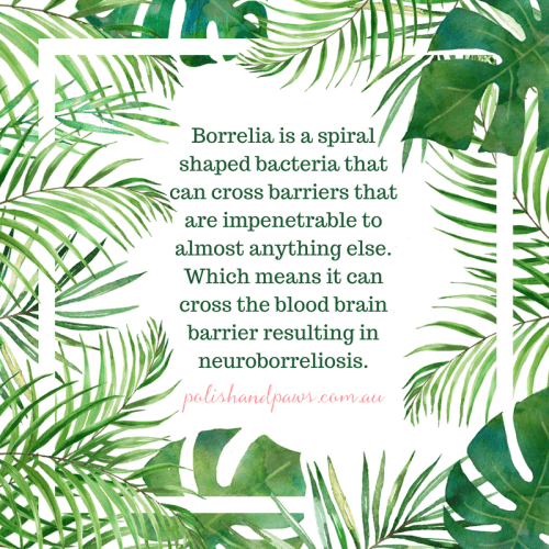 Borrelia is a spiral shaped bacteria that can cross barriers that are impenetrable to almost anything else. Which means it can cross the blood brain barrier resulting in neuroborreliosis.