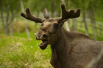 image of a moose, recently seen in sweden
