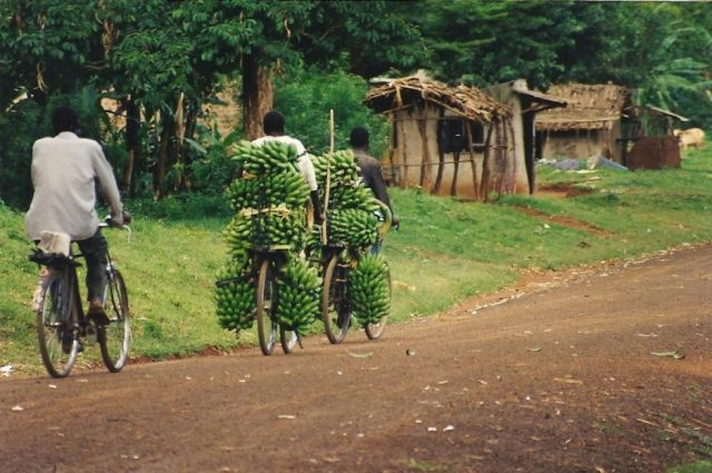 african transport bananas or matoke on a cycle in Uganda