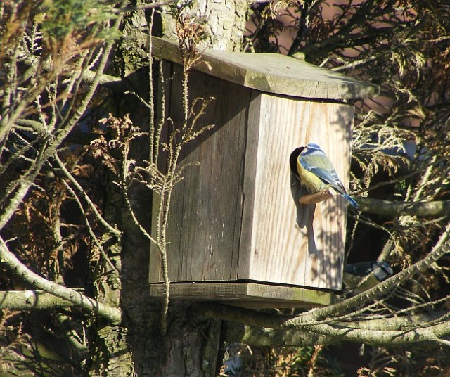 image of a blue tit looking into a nest box in spring in Norway