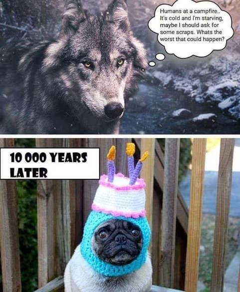 wolf encounter humans for food warm what could go wrong 10000 years later pug in birthday hat