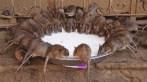 templo-de-ratos