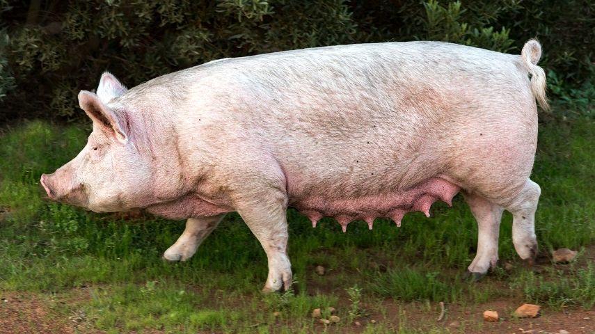 Kod Zaječara masovno klanje svinja u strahu od afričke kuge