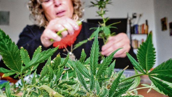 Resolverían un agujero legal en la ley de cannabis medicinal