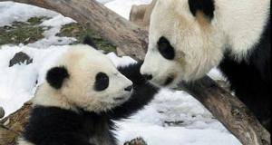 CUTEST baby PANDA & Mother