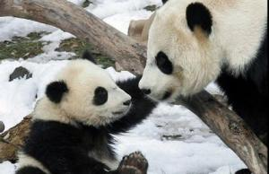 CUTEST baby PANDA & Mother
