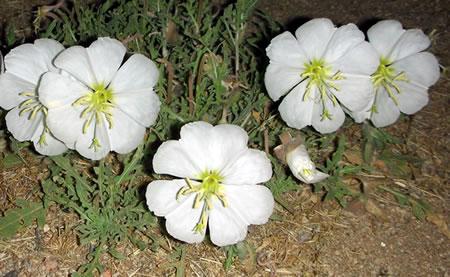 Night blooming flower