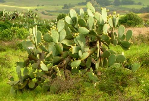 cactus in Maui