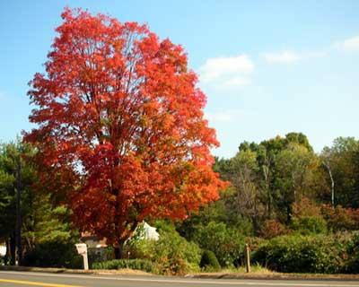 Sugar maple. Fall color