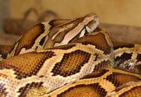 burmese python