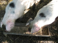 Pigs at trough. http://flickr.com/photos/rosedavies/1250225093/