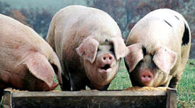 pigs at trough