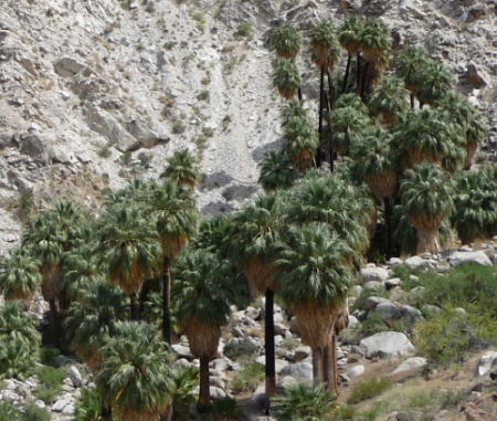 Fortynine Palms Oasis. Joshua Tree National Park
