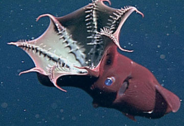 """Goldman Sachs looking for more """"investment opportunities."""" (Ok, it's actually a vampire squid. Photo from Tripbase)"""