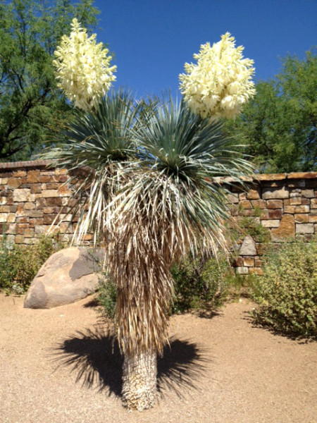 yucca-in-bloom
